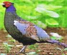 町鳥「ニホンキジ」