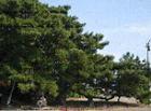 町木「クロマツ」